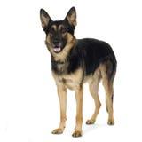 Tedesco pastore (4 anni)/alsatian, cane di polizia Immagini Stock Libere da Diritti