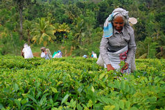 Tee-Arbeitskräfte an der Tee-Plantage in Sri Lanka Lizenzfreies Stockfoto