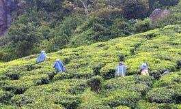 Tee-Arbeitskräfte, die im Tee-Garten in Munnar, Kerala, Indien arbeiten Lizenzfreie Stockfotografie