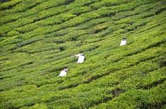 Tee-Arbeitskraftsammelnteeblätter in einer Teeplantage Stockfotografie