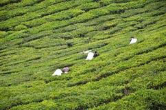 Tee-Arbeitskraftsammelnteeblätter in einer Teeplantage Stockfoto