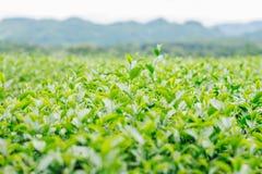 Tee auf Feld mit der Frische Lizenzfreie Stockfotografie