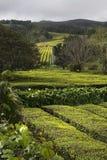 Tee-Bauernhof lizenzfreie stockfotos