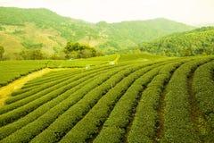 Tee-Bauernhof Lizenzfreies Stockfoto
