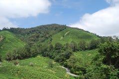 Tee-Bauernhof Stockfoto