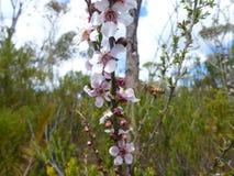 Tee-Baum-Blumen und Bienen stockfoto