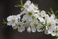 Tee-Baum-weiße Blumen stockbilder