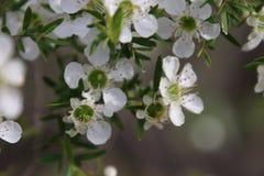 Tee-Baum-weiße Blumen lizenzfreie stockbilder