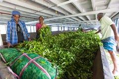 Tee-Fabrik Arbeitskräfte bei der Arbeit Lizenzfreies Stockfoto