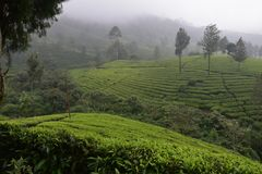 Tee-Gärten in Indien stockbilder