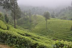 Tee-Gärten in Indien lizenzfreies stockfoto