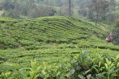 Tee-Gärten in Indien lizenzfreie stockbilder