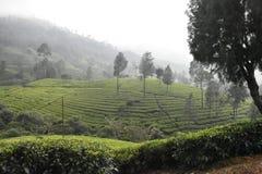 Tee-Gärten in Indien lizenzfreies stockbild
