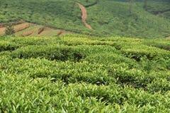 Tee-Gärten in Indien Stockfotografie