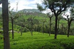 Tee-Garten stockfotografie