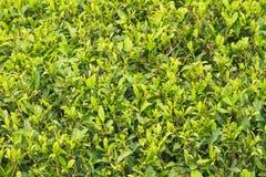Tee-Garten Darjeeling lizenzfreies stockfoto