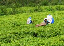 Tee-Land Lizenzfreies Stockfoto