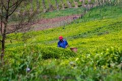 Tee-Pflücker Lizenzfreie Stockbilder