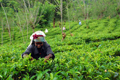 Tee-Pflücker bei der Arbeit Lizenzfreies Stockbild