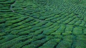 Tee-Plantage Lizenzfreie Stockfotos