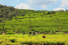 Tee-Plantage Lizenzfreies Stockbild