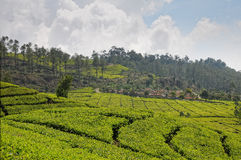 Tee-Plantage Stockfoto