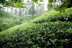 Tee-Plantage Lizenzfreie Stockbilder