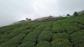 Tee-Plantage in Alishan-Bereich, Taiwan Schattenbild des kauernden Gesch?ftsmannes stock video footage