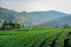 Tee-Plantage bei Doi Mae Salong in Chiang Rai, Thailand 1 Lizenzfreie Stockfotografie