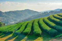 Tee-Plantage bei Doi Mae Salong in Chiang Rai, Thailand 2 Lizenzfreies Stockfoto