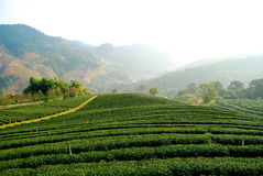 Tee-Plantage bei MaeSalong Lizenzfreies Stockfoto