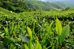Tee-Plantage, Cameron Highlands, Pahang stockfotografie