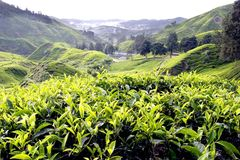 Tee-Plantage, Cameron Highlands, Pahang lizenzfreie stockfotografie