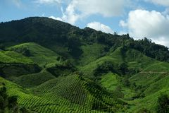 Tee-Plantage, Cameron-Hochländer Stockfoto