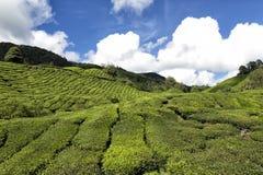 Tee-Plantage in den Cameron-Hochländern Lizenzfreie Stockbilder