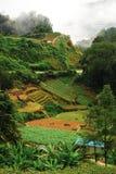 Tee-Plantage-Feld Lizenzfreie Stockfotos