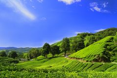 Tee-Plantage-Felder in Camer Lizenzfreie Stockfotos
