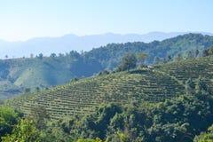 Tee-Plantage gepflanzt auf Berg Lizenzfreie Stockfotografie
