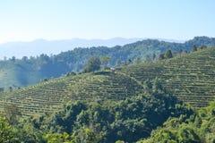 Tee-Plantage gepflanzt auf Berg Lizenzfreie Stockfotos