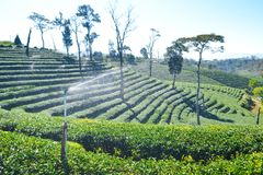 Tee-Plantage gepflanzt auf Berg Stockfotos
