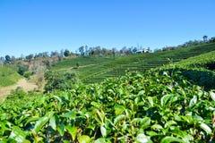 Tee-Plantage gepflanzt auf Berg Stockfotografie