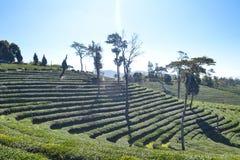 Tee-Plantage gepflanzt auf Berg Lizenzfreies Stockbild