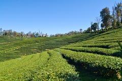 Tee-Plantage gepflanzt auf Berg Stockfoto