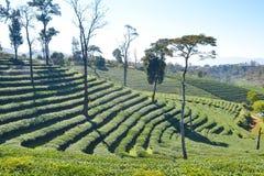 Tee-Plantage gepflanzt auf Berg Lizenzfreies Stockfoto