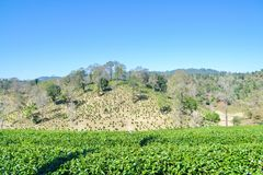 Tee-Plantage gepflanzt auf Berg Stockbilder