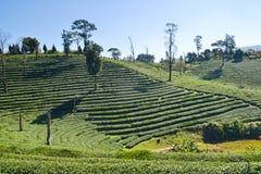 Tee-Plantage gepflanzt auf Berg Lizenzfreie Stockbilder