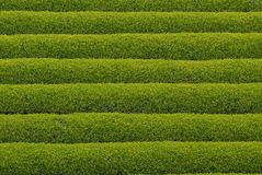 Tee-Plantage in Japan Stockbilder