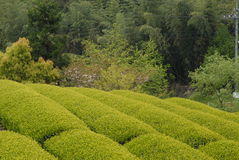 Tee-Plantage in Japan Stockbild