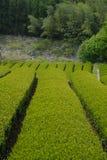 Tee-Plantage in Japan Stockfotos