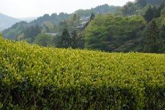 Tee-Plantage in Japan Lizenzfreies Stockbild